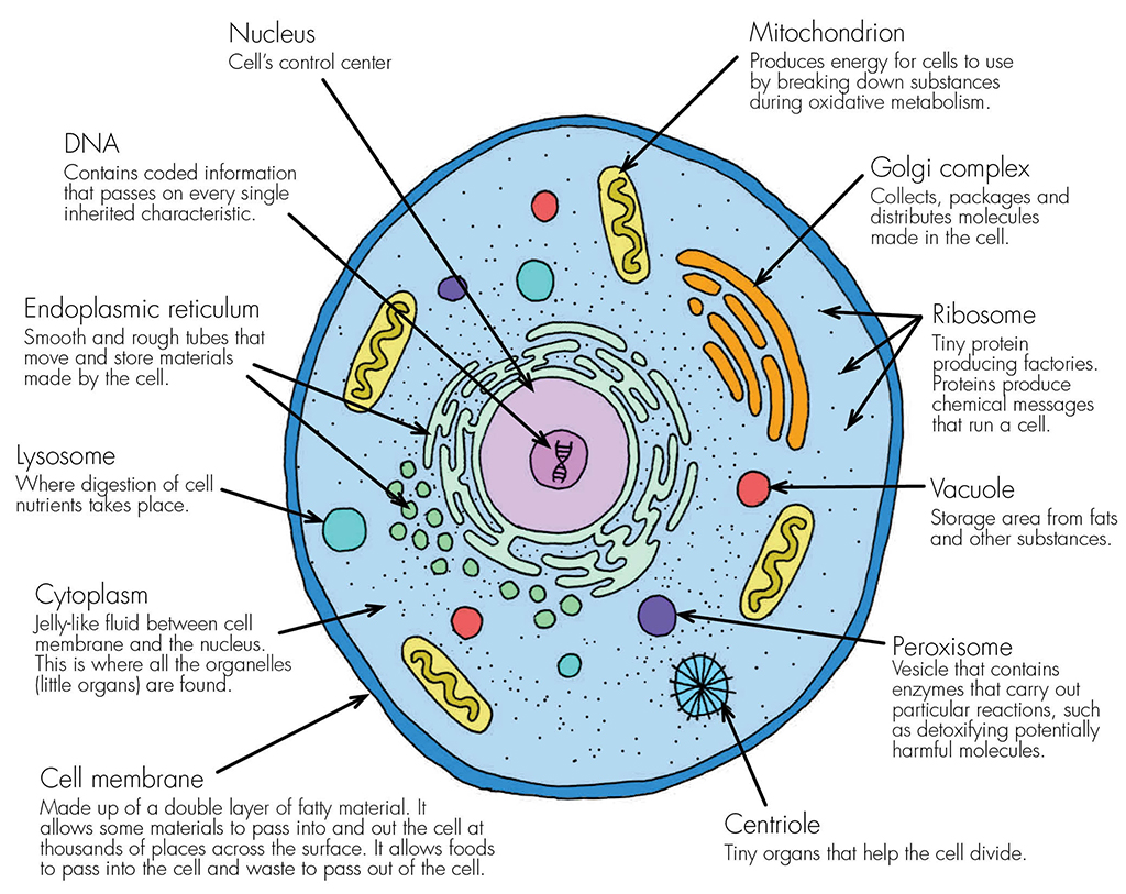 Prokaryotic Cell Diagram With Labels And Functions Schematics Data Labeled Structure As Cells Haleo